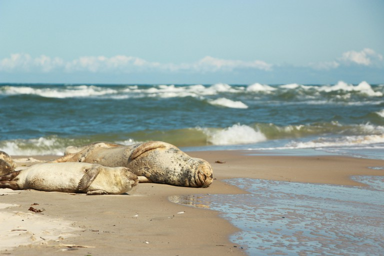 Seals relaxing on Grenen's beach in Skagen Denmark