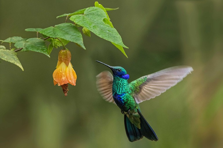 Green Violet-ear (Colibri thalassinus) hummingbird feeding on flower nectar, Chicaque Natural Park, Colombia