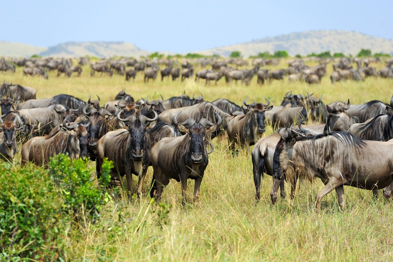 Wildebeest in savannah, National park of Kenya, Africa