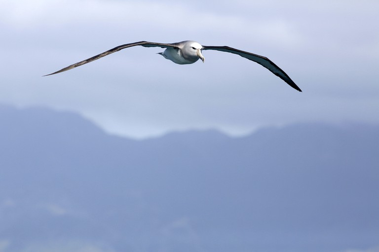 Salvin's Albatross in flight at Kaikoura