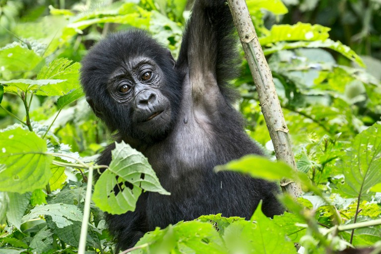 A young mountain gorilla playing in Bwindi Impenetrable Forest