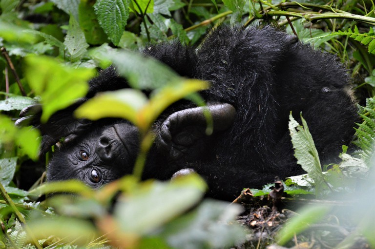 Young mountain gorilla playing in Bwindi Impenetrable Forest