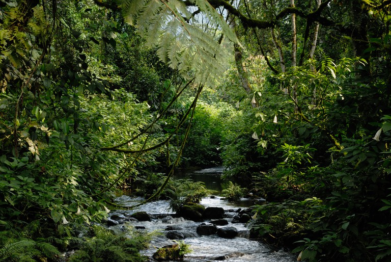 A stream in the dense rainforest of Bwindi Impenetrable Forest