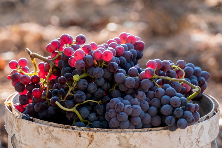 Harvested red grenache grapes