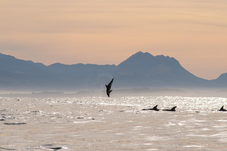 Dolphin doing flips near sunrise off the coast of Kairkoura