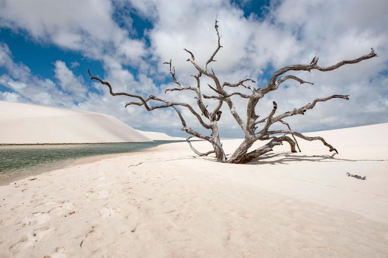 Dry tree in Lencois Maranhenses National Park