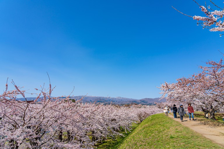 Goryokaku star fort park in cherry blossom full bloom season