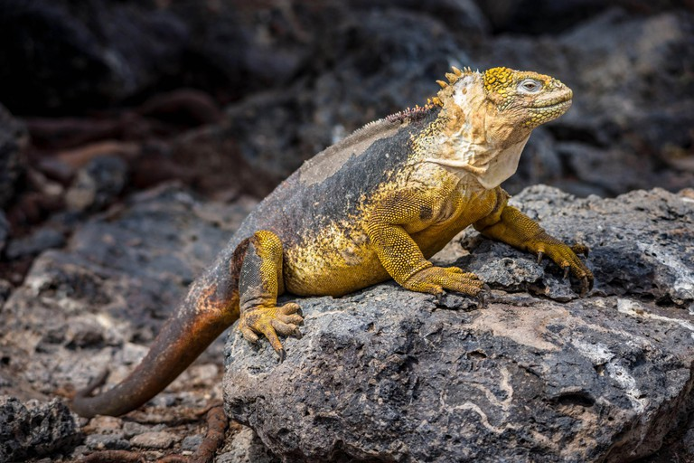 Ecuador, Galapagos Archipelago, listed as World Heritage by UNESCO, Santa Cruz Island, South Plaza Island, Galapagos Terrestrial Iguana (Conolophus subcristatus)