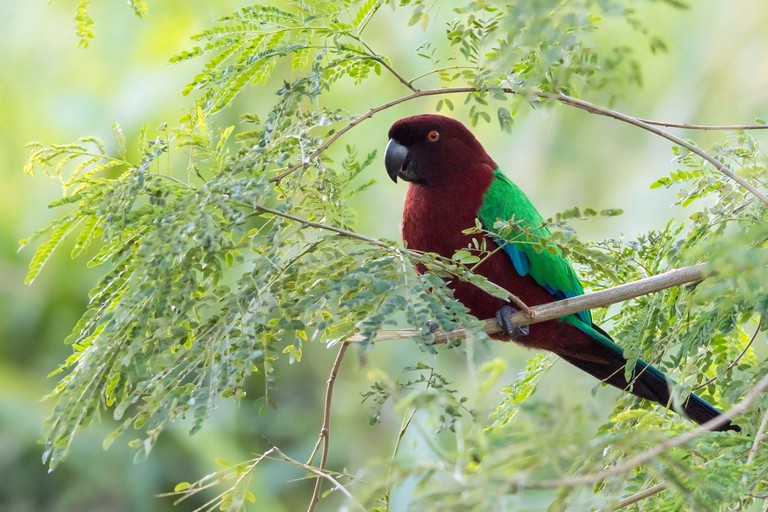 red shining parrot (Prosopeia tabuensis), on a branch, Fiji