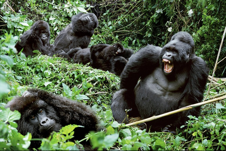 Family group of mountain gorillas Mgahinga National Park Uganda
