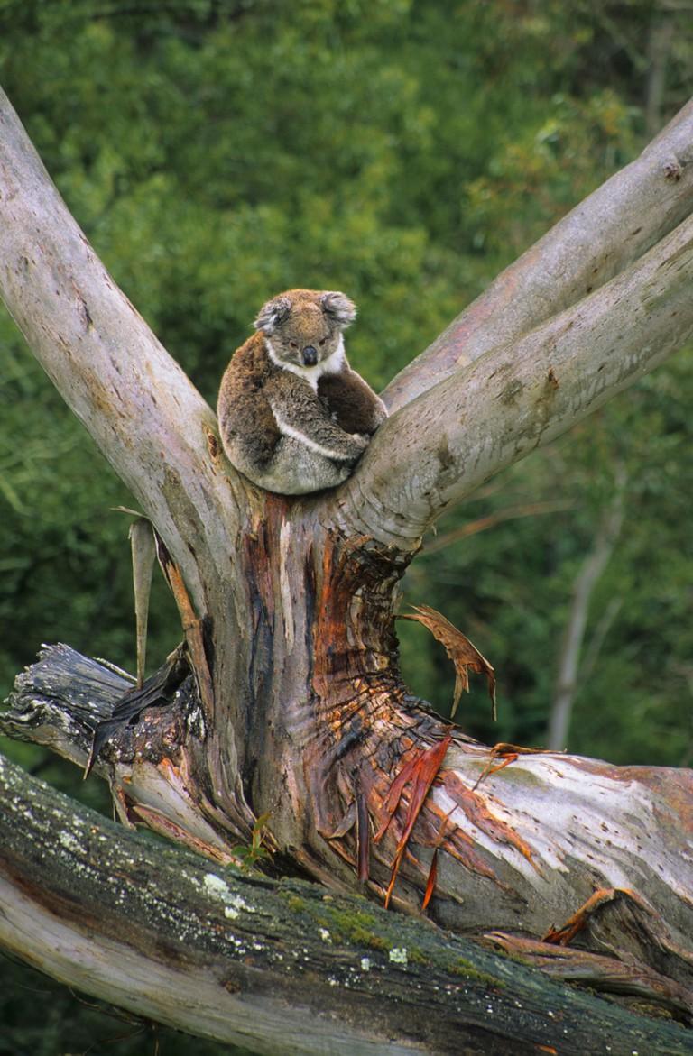 Koala sitting in a Eucalyptus tree Mount Eccles National Park Australia