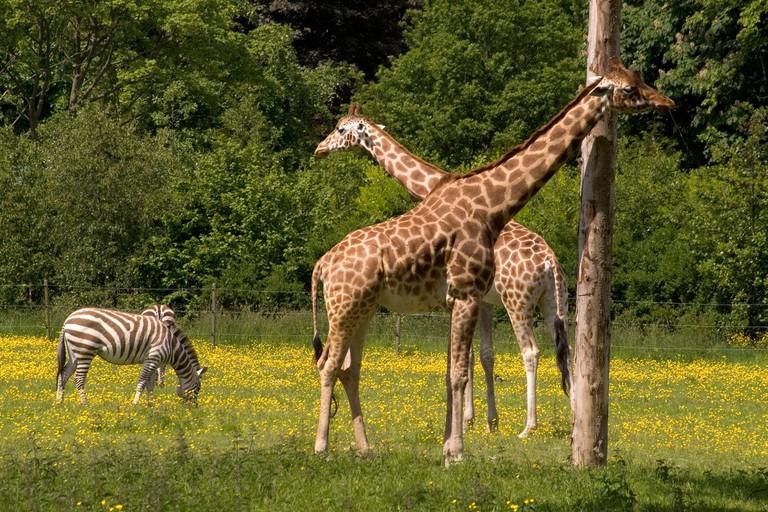 Dublin Zoo Dublin giraffes zebra. Image shot 2006. Exact date unknown.