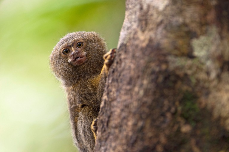 Pygmy Marmoset (Callithrix pygmaea, Cebuella pygmaea). Smallest true monkey in the world