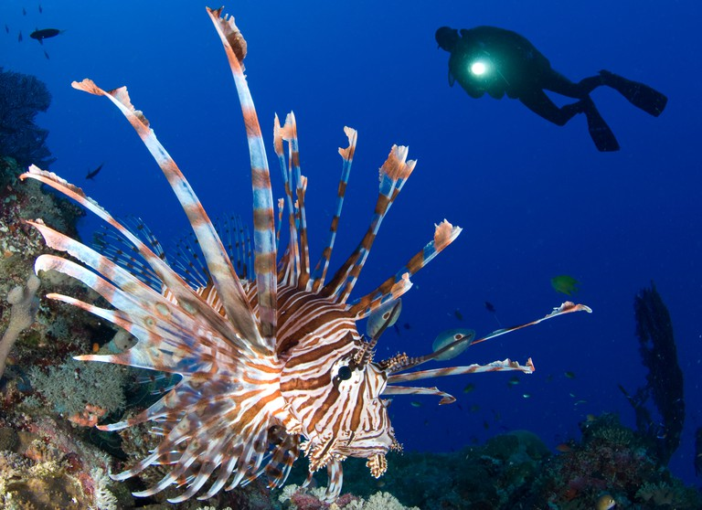 Common lionfish (Pterois volitans) with diver and torch in background, Solomon Islands.