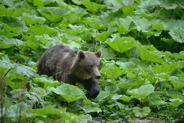 Young brown bear (Ursus arctos), valley near Sinca Nova, Romania, Europe