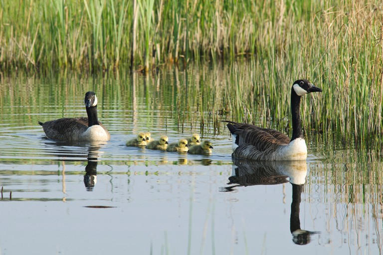 A pair of Canada geese (Branta canadensis) with newly hatched goslings at Crossness Nature Reserve, Bexley. April.