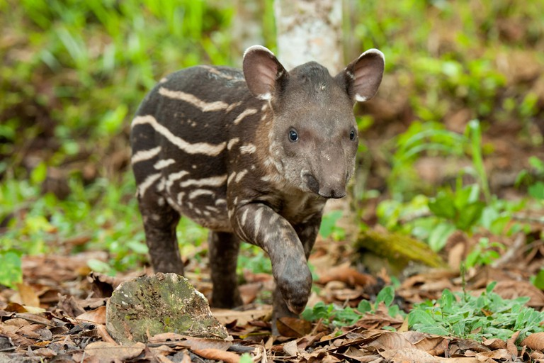 A juvenile South American tapir (Tapirus terrestris) in the Ecuadorian Amazon rainforest