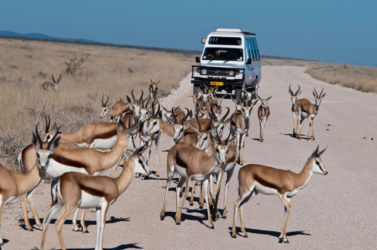 Tourists viewing a herd of Springbok, Antidorcas marsupialis, from a safari vehicle in Etosha National Park, Namibia, Africa