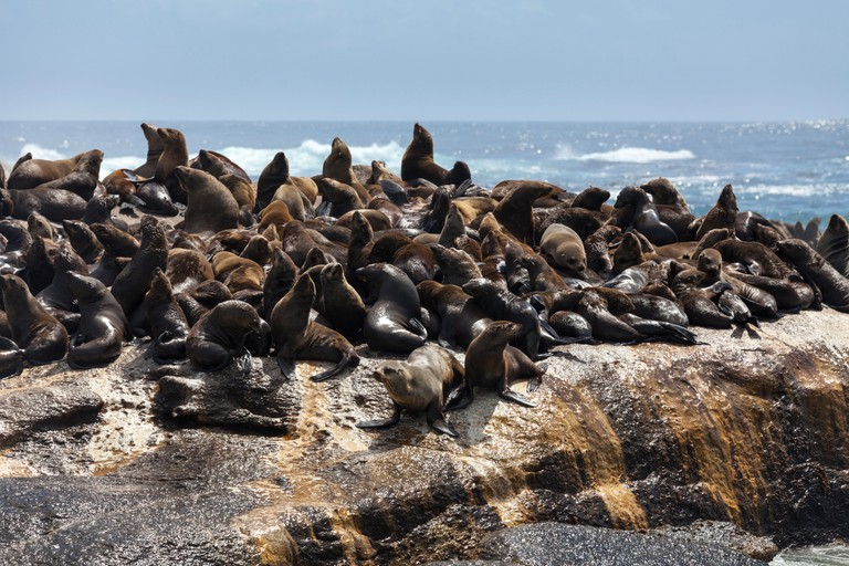 Brown Cape Fur Seals basking in the sun at Duiker Island, Hout Bay, South Africa. Image shot 12/2013. Exact date unknown.