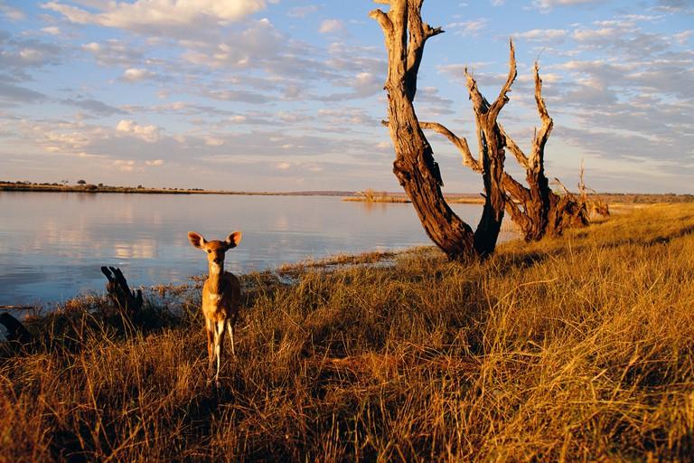 Bushbuck by Chobe River