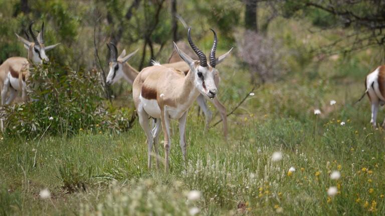 Springbok in Pilanesberg Game Reserve, South Africa