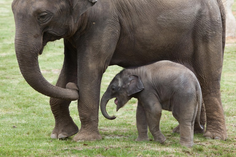 One-month-old Indian elephant (Elephas maximus indicus) named Maxmilian with its mother Janita at Prague Zoo, Czech Republic.