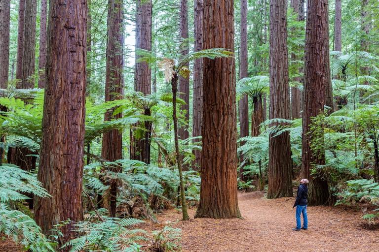 Man looking at big redwood trees, Rotorua