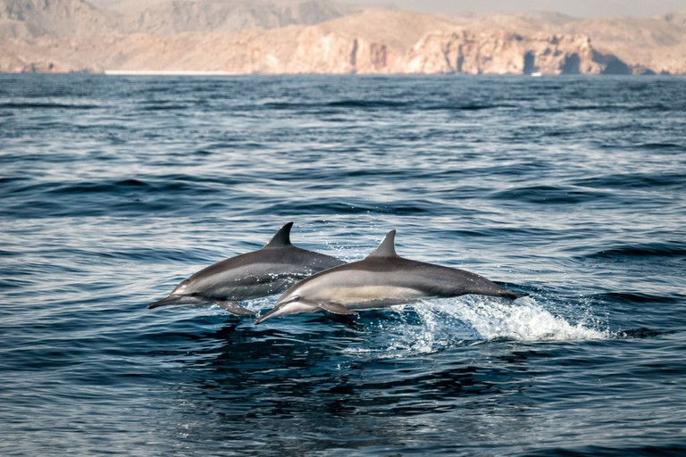 Dolphins swimming in the Gulf of Oman, Oman.