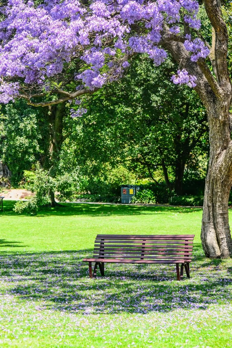 Jacaranda in the Royal Botanic gardens Melbourne