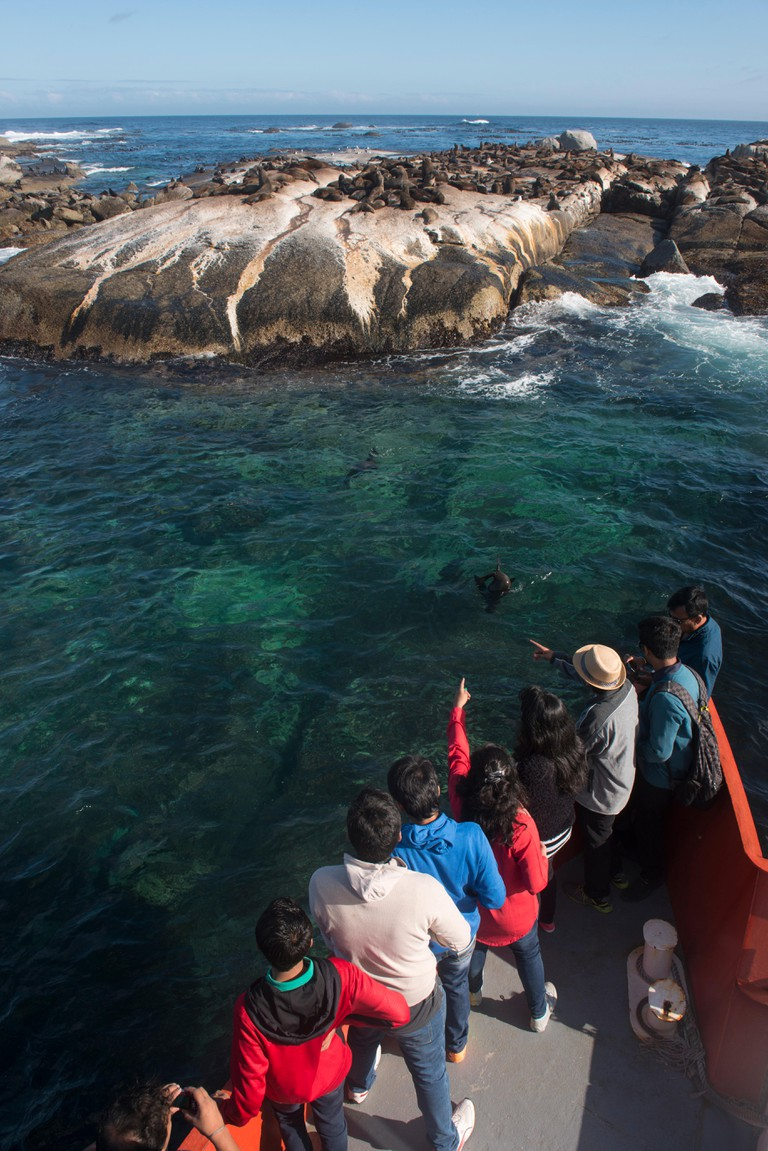 Tourism to see Cape fur seal colony (Arctocephalus pusillus). Duiker Island non breeding mostly young males. Western Cape, South Africa