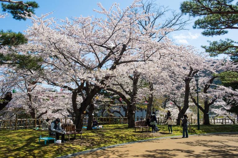 Cherry blossom in the Hakodate Park, Hakodate, Hokkaido, Japan.