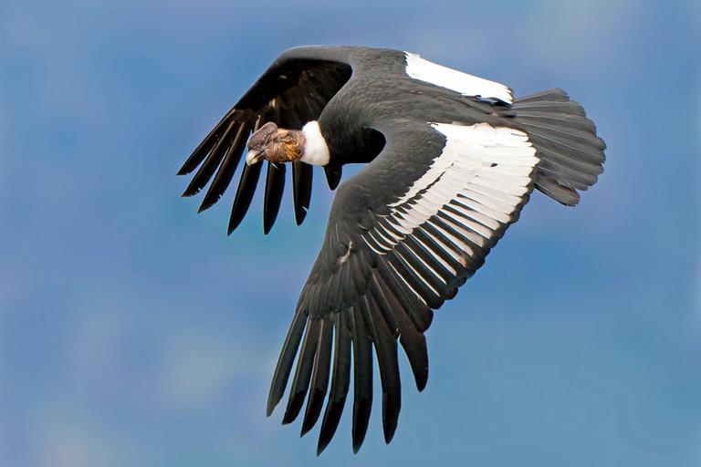 Adult male Andean condor (Vultur gryphus), Torres del Paine National Park, southern Patagonia, Chile