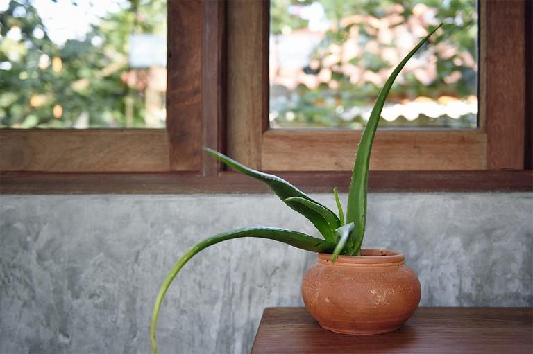 Aloe vera on a wooden table