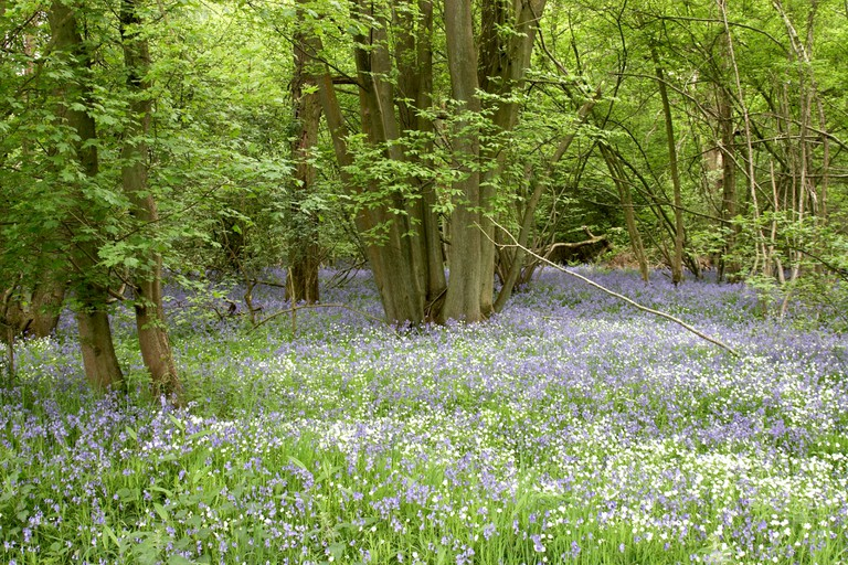 Bluebell woods with wild spring flowers near Silchester Hampshire England UK. Image shot 10/2008. Exact date unknown.