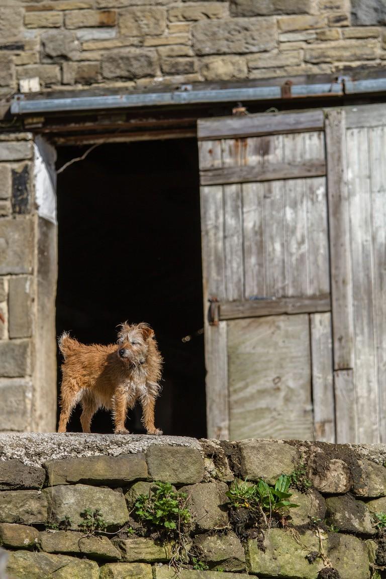 Farm dog standing outside a barn, Yorkshire