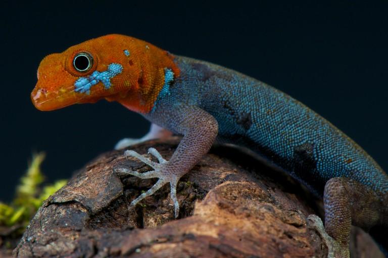 Red-headed dwarf gecko
