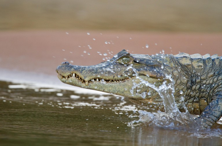 Spectacled Caiman (Caiman crocodilus) entering river