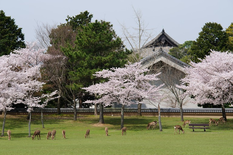 Deers underneath the trees during the cherry blossom season in Nara Park