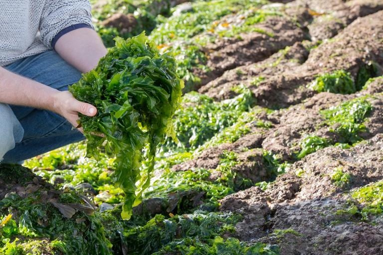 Man Foraging seaweed / sea lettuce in the UK