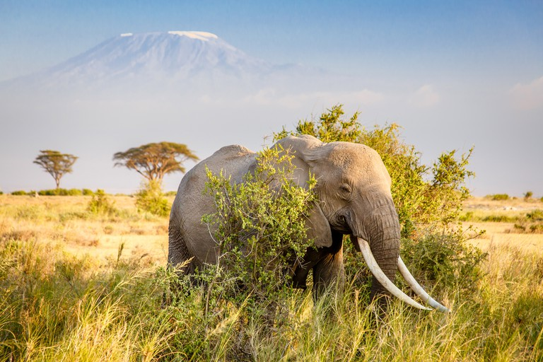 A bull African Bush Elephant with Mount Kilimanjaro standing in the distance in Kenya
