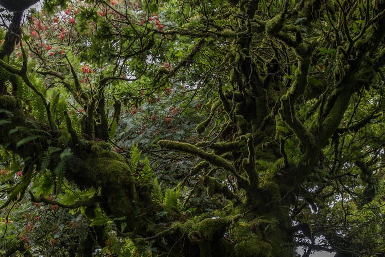 Moss covered Oak Tree, Wistmans wood, Two Bridges, Dartmoor National park, Devon
