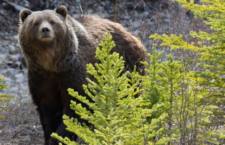 A grizzly bear in Banff National Park in Alberta Canada. Image shot 05/2008. Exact date unknown.