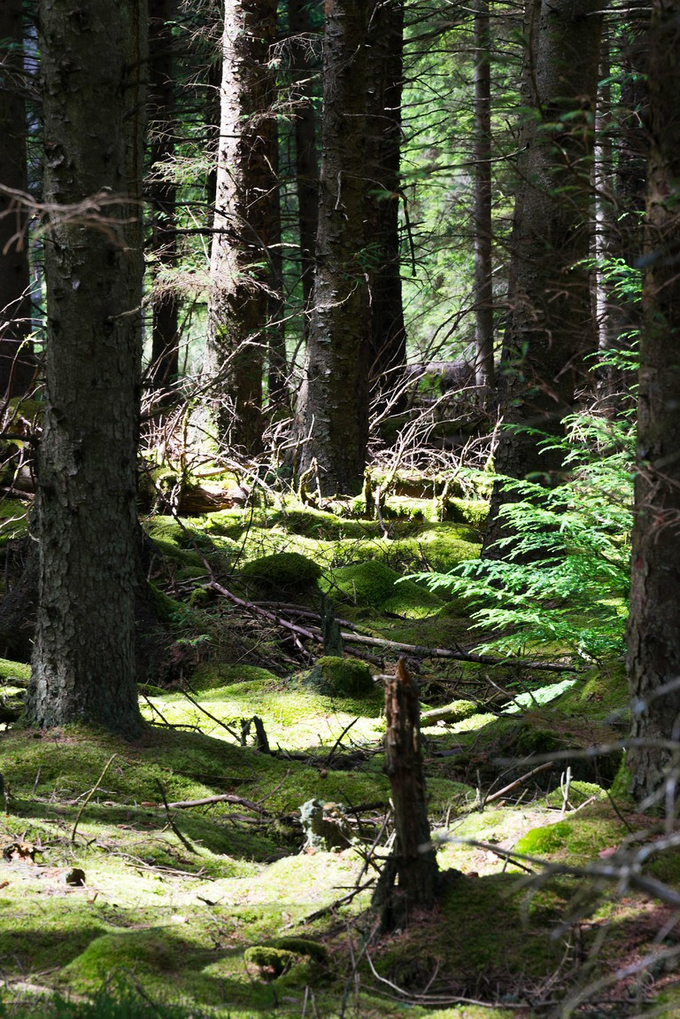 Moss Covered Ground in a Conifer Tree Lined Forest at Kielder Northumberland England United Kingdom UK