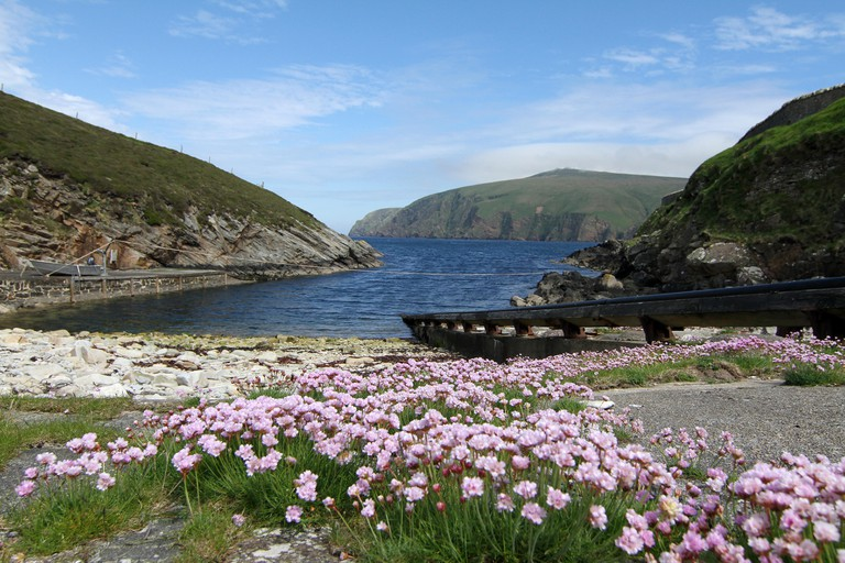 Sea pinks at Hermaness, Unst Island
