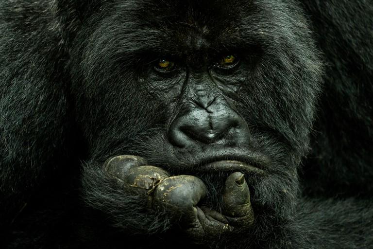 Nelis-Wolmarans.-Silverback,-Mountain-Gorilla,-in-Virunga-National-Park-in-the-Democratic-Republic-of-Congo