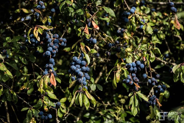 Sloe berries in an English hedgerow