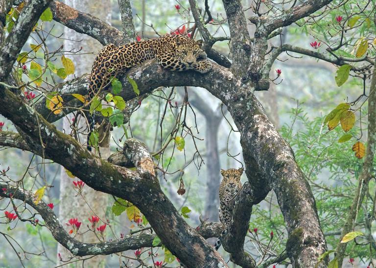 Shaaz Jung. Leopards, Nagarhole National Park, India