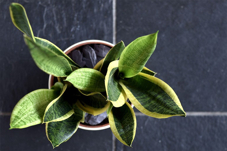 Aerial View of a Snake plant on stone tiled floor