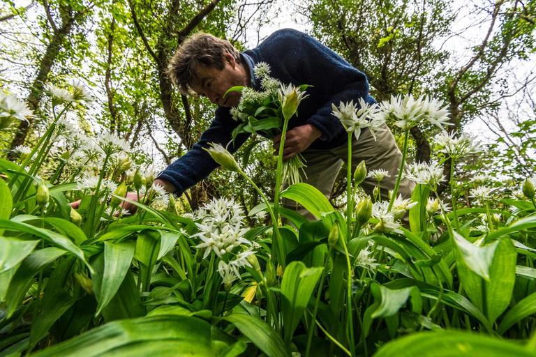 A man foraging for wild garlic.