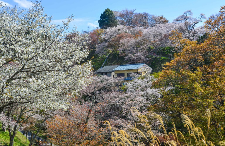 Rural house with cherry blossom garden in Yoshino Park, Japan.